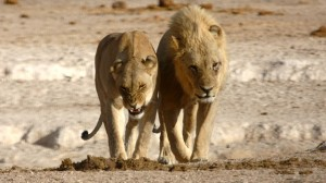 Lion Pair at Etosha by Markus Lilje