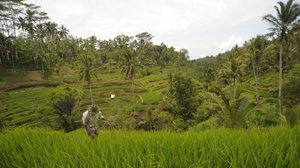Balinese terrace rice fields