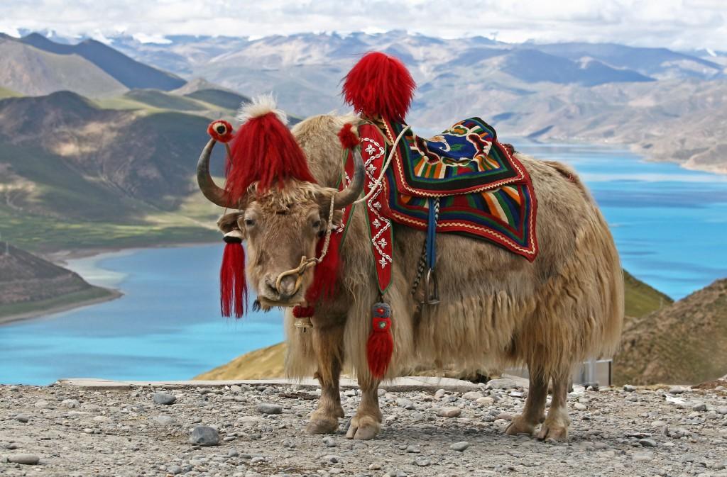 yak - butão